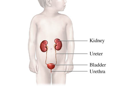 Urinary tract in a child