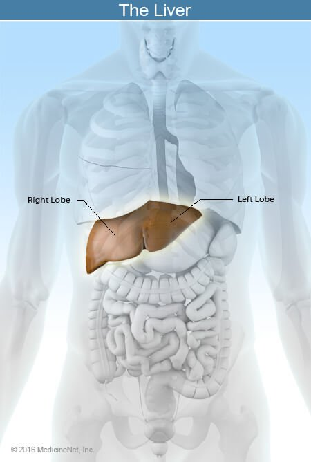 Picture of the location of the liver.