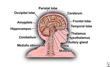 Picture of the parts and location of structures of the brain.