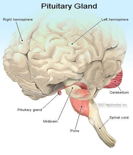 Endocrine system anatomy function organs glands illustration of the pituitary gland ccuart Image collections