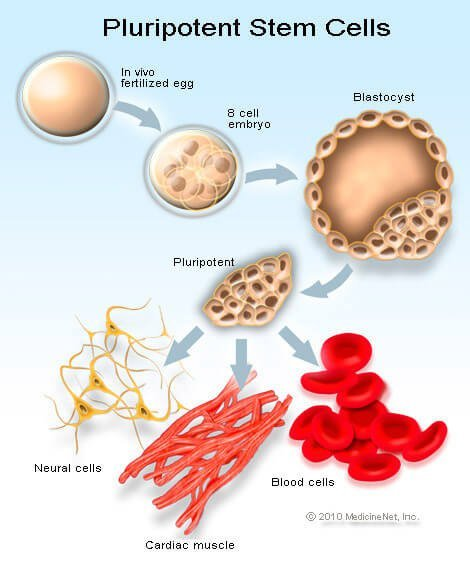Picture of the stem cell cycle