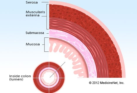 Pictures Of Gastrointestinal Structures Layers Of The Colon