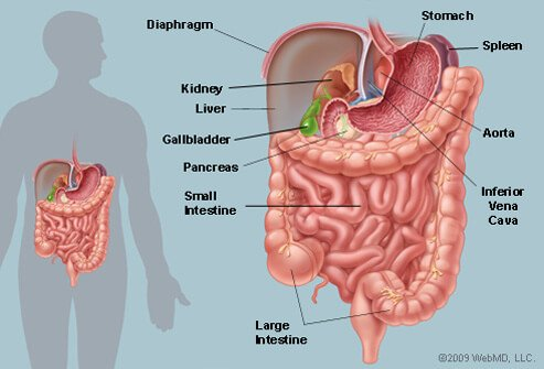 Illustration Picture of Abdominal Area - Abdomen Structure and Function