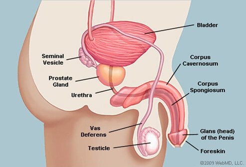 Illustration Picture Of Male Glands And Organs Prostate Gland