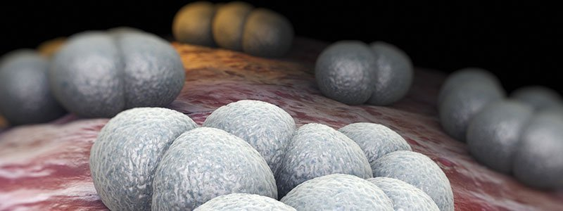 A close up of meningococcal bacteria which can cause meningitis.