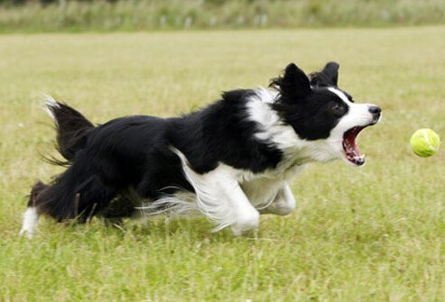 Border collie chasing ball.