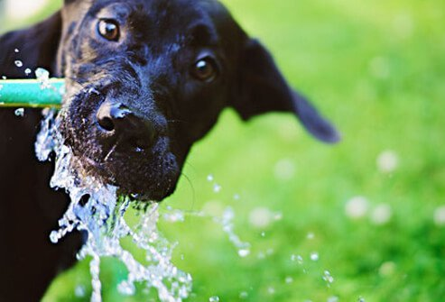 Black lab drinking from hose.