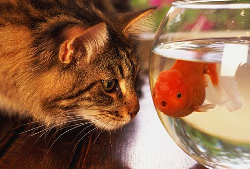 Cat staring at goldfish in bowl.