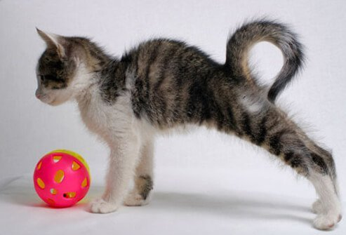 Kitten stretching.
