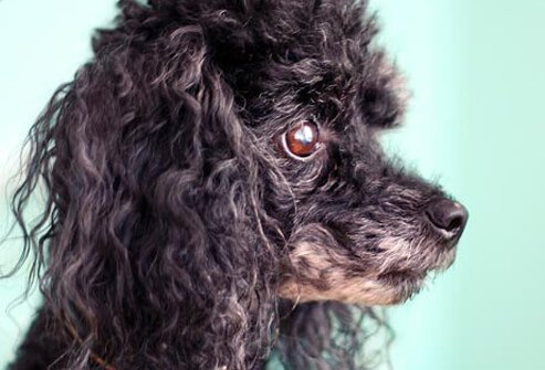 Photo of Poodle.