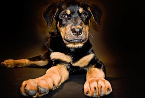 Photo of Rottweiler puppy laying down.