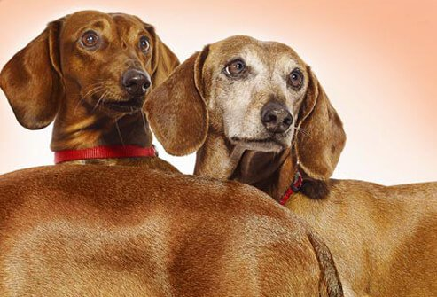 Photo of two Dachshunds.