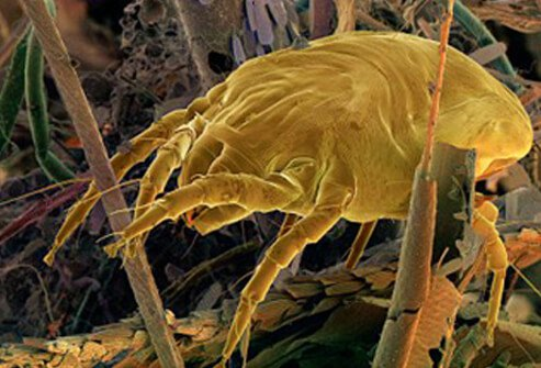 Dust mite in a dust ball