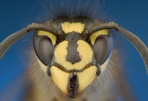 close up view of a yellow jacket wasp
