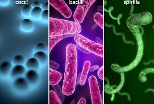 Examples of the three basic types of bacteria: rod-shaped (bacilli), spherical (cocci), or helical (spirilla).