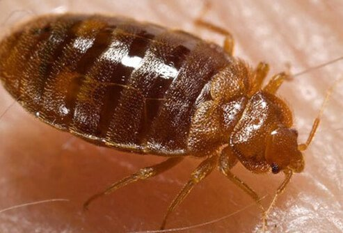 Bed bugs are reddish brown, and less than 1 millimeter (mm) in size.
