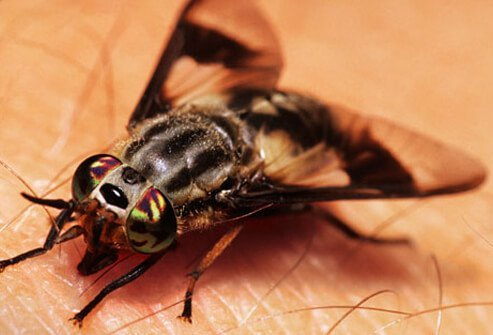 Deer flies are about the same size as houseflies.
