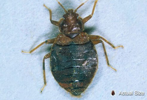 An adult bedbug at actual size, and magnified for a closer look.