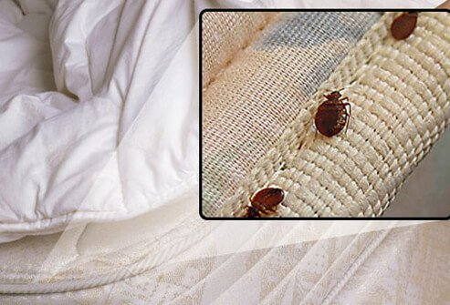Bedbugs along the seam of a mattress.