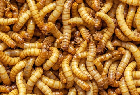 These insects have lots of omega-3 fatty acids, protein, vitamins, and minerals like copper, sodium, potassium, iron, zinc, and selenium.