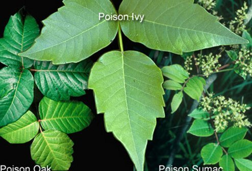Learn to recognize and avoid direct contact with poisonous plants such as poison ivy, poison oak, and sumac.