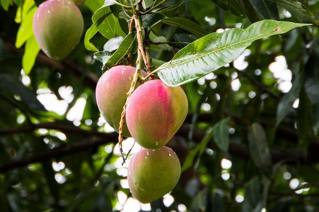 Mangoes contain the same toxin, urushiol, that is found in poison ivy and cashews.