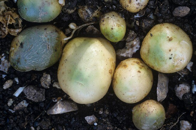Avoid green potatoes that contain toxic glycoalkaloid.