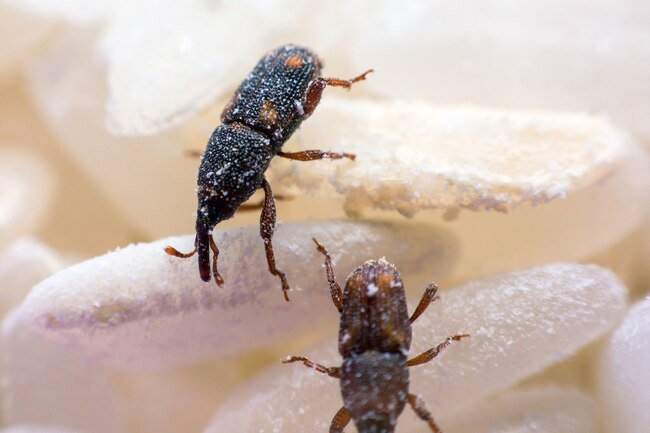 Weevils are a type of beetle that eats plants.