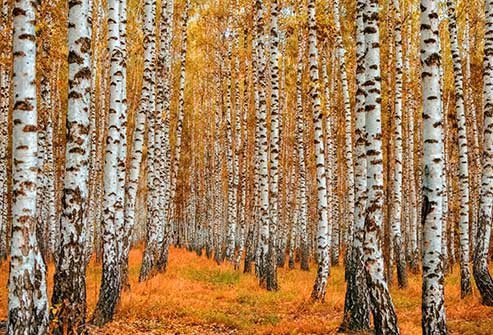 If it's spring and you're sneezing, birch might be part of the problem.