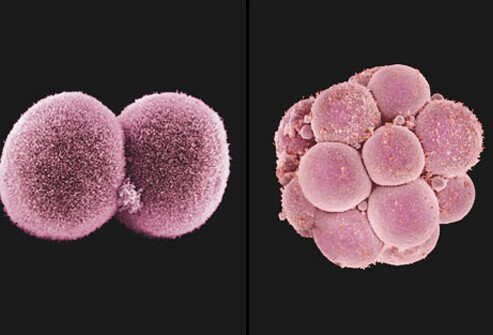 An embryo undergoing cell division.