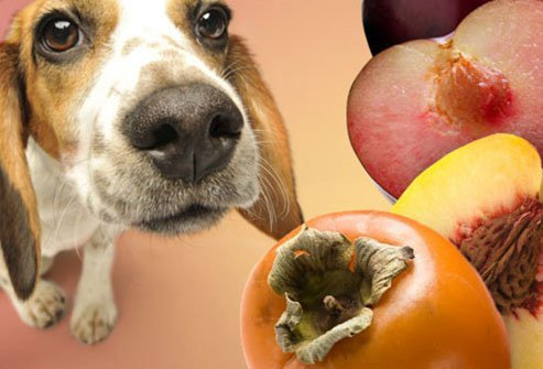 dogs should avoid persimmons, peaches and plums