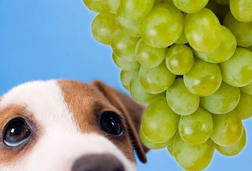 dogs should avoid grapes