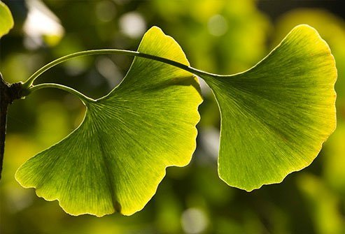 Patients who take gingko biloba may suffer from drug interactions.