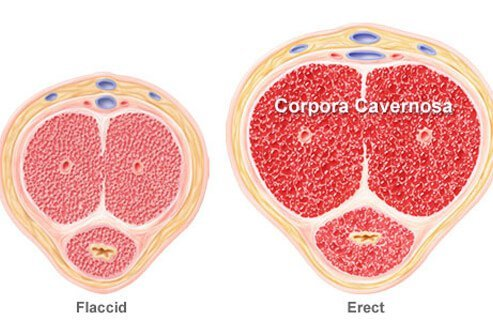 Illustration of a flaccid vs. erect penis known as corpora cavernosa.