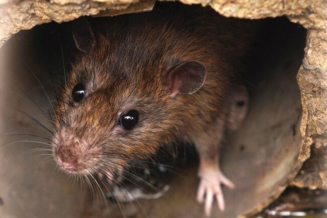 Mice and rats are destructive and they may harbor disease.