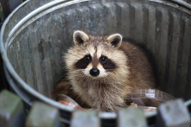 Raccoons are not usually dangerous, but they can be aggressive if they feel threatened.