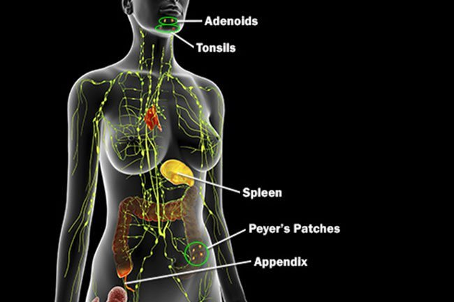 Your spleen is an organ that sits in the upper left of your abdomen.