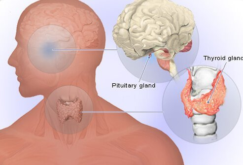 An illustration of the pituitary gland and parathyroid glands.