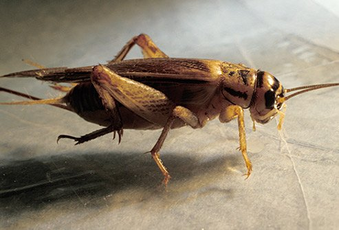 Crickets prefer to stay outdoors, but if they are inside they may be in the basement, on plants, and near fabrics.
