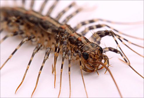 Centipedes eat other insects that may be inside your home.