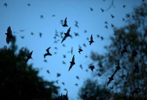 It's true, bats like to snack on mosquitoes.