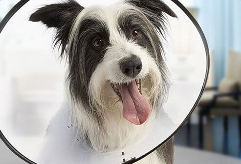 A dog with a cone around neck.