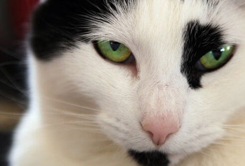 Green-eyed cat.