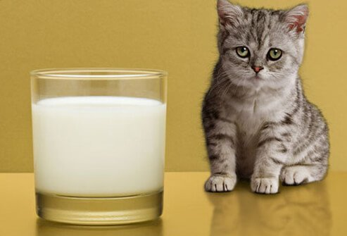 Photo of sad kitten regarding milk.