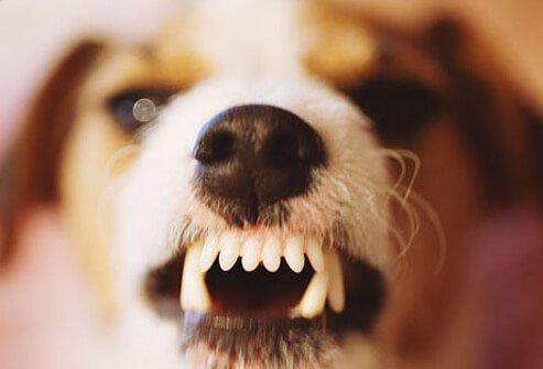 Jack Russell terrier baring teeth