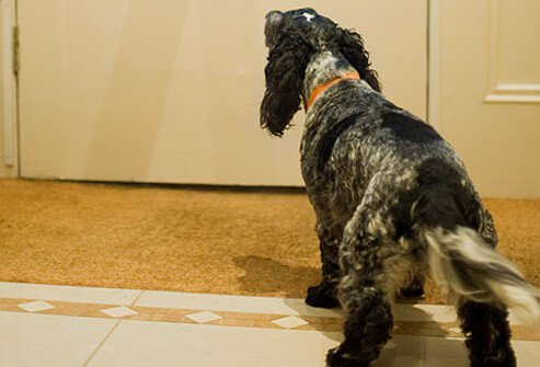 Spaniel barking at door