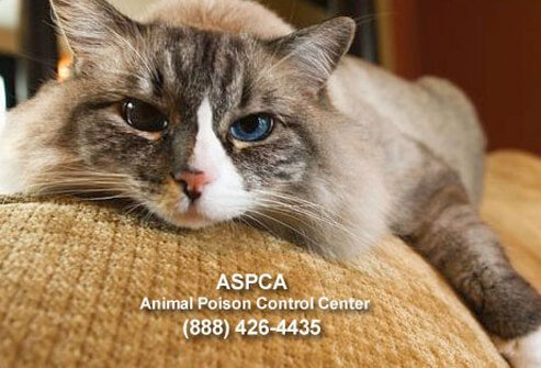 Cat laying on couch with ASPCA phone number