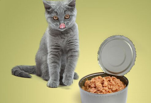 Cat looking at can of tuna, tongue out