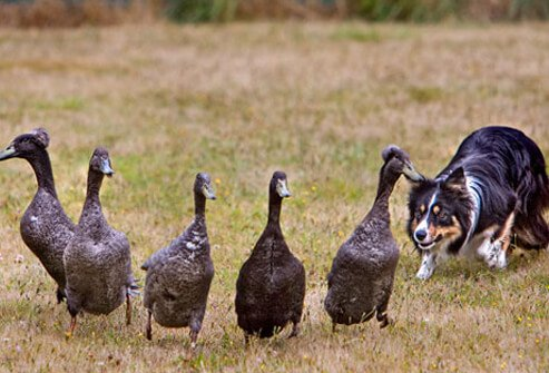 Border Collies Herding Flock of Ducks