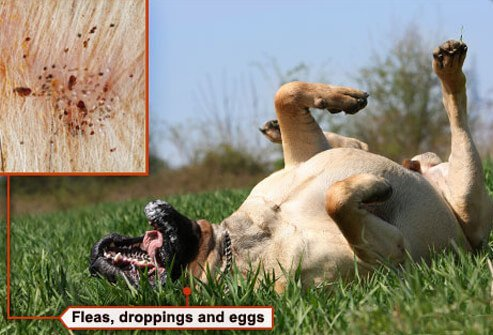 Photo of dog with fleas scratching back.